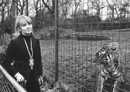 Pop Star Lulu At The Tiger Enclosure At Belle Vue Zoo Manchester. Box 670 80103165 A.jpg.