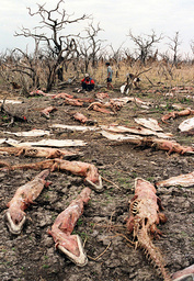 SKINNED ALLIGATOR CARCASSES LIE IN A DRY LAKE BED IN PARAGUAY