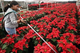 Worker waters poinsettias in a greenhouse in Mexico