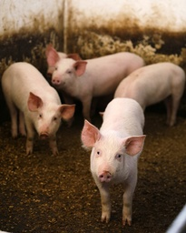 Pigs look out from an enclosure before being vaccinated against swine fever in Boldesti-Scaeni north of Bucharest