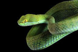Kramer's / Large Eyed Pit Viper (Cryptelytrops / Trimeresurus macrops). Captive. Endemic to South East Asia.