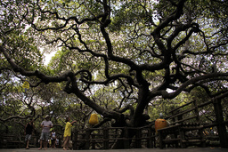 People walk around the largest cashew tree in the world, a giant tree located in the North Pirangi city, south of Natal