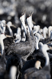 Flock of Hooded Cranes (Grus monacha) with two calling, Kyushu, Japan
