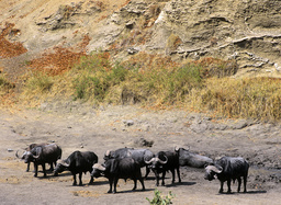 African buffalo (Syncerus caffer) mud bathing in a dry riverbed, Kruger National Park, Transvaal, South Africa, September.