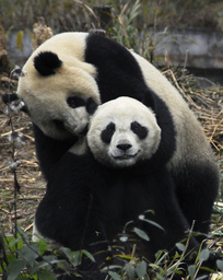 Two giant pandas named Tuan Tuan and Yuan Yuan are seen at giant panda centre in Ya'an