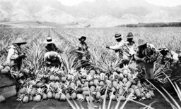 Scene on a pineapple plantation, with harvested pineapples, Hawaii. ca. 1910-1920