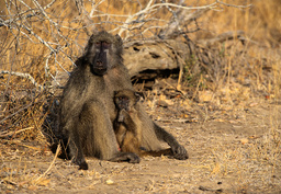 Female Chacma baboon (Papio ursinus) with young, Kruger National Park, Transvaal, South Africa, September.