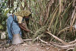 Kardamom-Ernte in Kerala (Indien) / Foto 1994 - Cardamon Harvest in Kerala (India) / Photo 1994 -