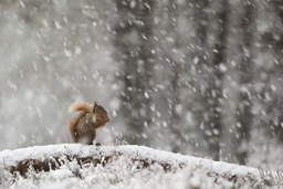 Red Squirrel (Sciurus vulgaris) in pine forest, feeding in heavy snowfall. Glenfeshie, Scotland, January.