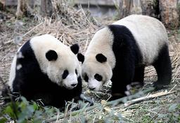 TAIWAN-CHINA-DIPLOMACY-ANIMALS-PANDAS