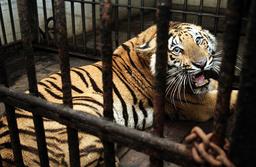 INDIA-ANIMAL-TIGER