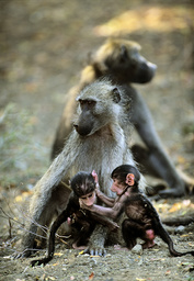 Female Chacma baboon (Papio ursinus) with her two offspring playing at her feet, Kruger National Park, Transvaal, South Africa, September.