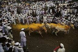 Ochsenkarrenrennen / Foto - Racing oxen and carts / Photo / 1994 - Inde / Région de Bhosari / Course de boeufs.