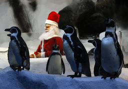 Humboldt Penguins stand near a model of Santa Claus as part of a Christmas display in an aquarium at the Manila Ocean Park