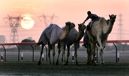 A BOY JOCKEY TENDS RACING CAMELS AS THEY ARE LED ALONG THE RACE TRACK DURING TRAINING