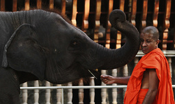 An elephant touches a Buddhist monk's face with its trunk as he feeds it at a temple in Colombo