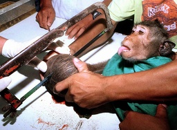 A VET SAWS OPEN COCONUT TO EXTRACT MONKEY'S HAND IN BANGKOK