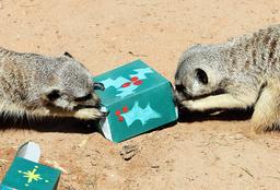 AUSTRALIA-CHRISTMAS-ANIMALS-MEERCATS