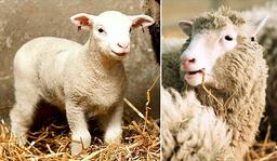 BRITAIN-SHEEP