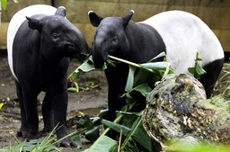MALE AND FEMALE TAPIRS INTRODUCED AT SYDNEYS TARONGA ZOO