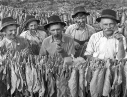 Agriculture - Tobacco Production at the Pál Vasvári Agricultur