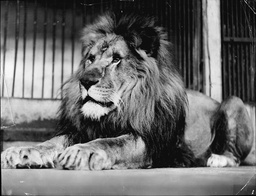 'victor' The Lion At Belle Vue Zoo In Manchester In The 1930's.