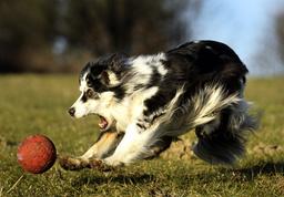 GERMANY-AUSTRALIA-ANIMALS-DOG
