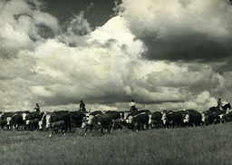 Cowboys treiben Rinder / USA / Foto 1939 - Cowboy Cattle Drive / USA / Photo 1939 -