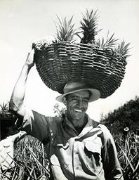 Karibik, Puerto Rico, Ananasernte /Foto - Puerto Rico / Pineapple harvest / 1948 -