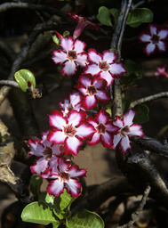 Impala lily (Adenium multiflorum) in flower, Kruger National Park, Transvaal, South Africa, September.