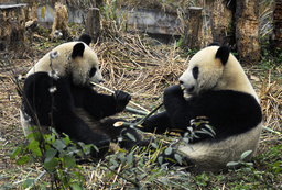 Two giant pandas named Tuantuan and Yuanyuan, which means reunion in Chinese, eat bamboo at a giant panda centre in Ya'an