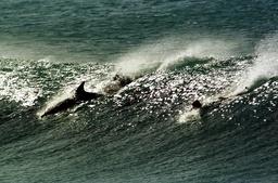 A SURFER IS FOLLOWED BY DOLPHINS DURING A COMPETITION