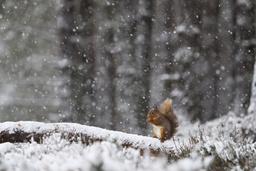Red Squirrel (Sciurus vulgaris) feeding in heavy snowfall. Glenfeshie, Scotland, January.