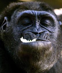 A WESTERN LOWLAND GORILLA EATS LETTUCE IN ENCLOSURE AT SYDNEY'S TARONGA ZOO