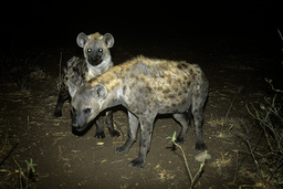 Two Spotted hyaenas (Crocuta crocuta) at night, Kruger National Park, Transvaal, South Africa, September.