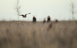 Short eared owl (Asio flammeus) flying over grassland whilst hunting, with people by in the background, Northamptonshire, England, UK, January