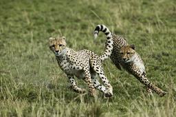 Cheetah (Acinonyx jubatus) cubs aged 9 months playing, Masai-Mara Game Reserve, Kenya. Vulnerable species.