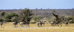 Mixed group of Plains zebra (Equus burchellii) and Giraffe (Giraffa camelopardalis) at a waterhole, near Satara, Kruger National Park, Transvaal, South Africa, September.