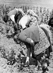 BDM girls work in a tree nursery, 1939