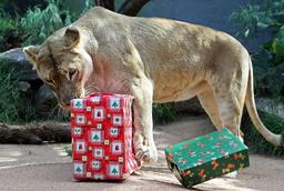 AUSTRALIA-CHRISTMAS-ANIMALS-LIONESS