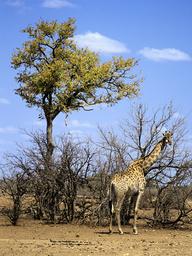 Giraffe (Giraffa camelopardalis), Kruger National Park, Transvaal, South Africa, September.