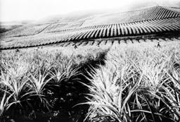 A pineapple plantation, Hawaii. ca. 1910-1920