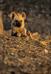 Young Spotted hyaena (Crocuta crocuta) resting in front of den, Kruger National Park, Transvaal, South Africa, September.