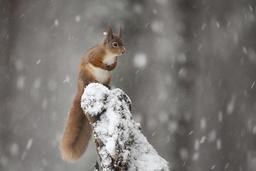 Red Squirrel (Sciurus vulgaris) in snowy pine forest. Glenfeshie, Scotland, January.