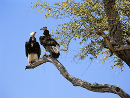 Two White headed vultures (Trigonoceps occipitalis) in tree looking at each other, Kruger National Park, Transvaal, South Africa, September.