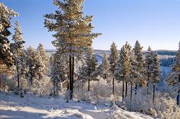 Forrest in winter