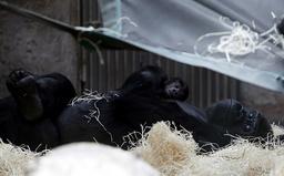 Shinda, a western lowland gorilla, holds her newborn baby in its enclosure at Prague Zoo