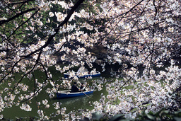 JAPANESE COUPLES ROW BOATS BENEATH CHERRY BLOSSOMS NEAR THE IMPERIAL PALACE MOAT IN TOKYO