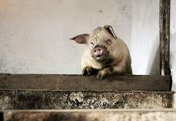 A pig looks out from its enclosure in Boldesti-Scaeni, Romania
