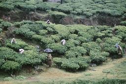 Teepflückerinnen bei Munnar, Indien / Foto 1994 - - Cueilleuses de thé à Munnar (Inde)